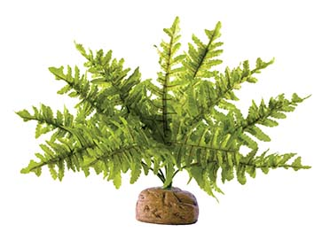 Ex boston fern, small  S
