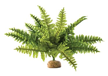 Ex boston fern, medium  M