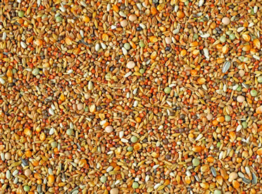 Natural fancy pigeons + small maize  p30  25KG