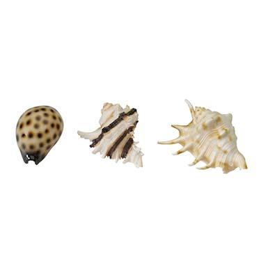 Sea shell mix  8,5-10CM
